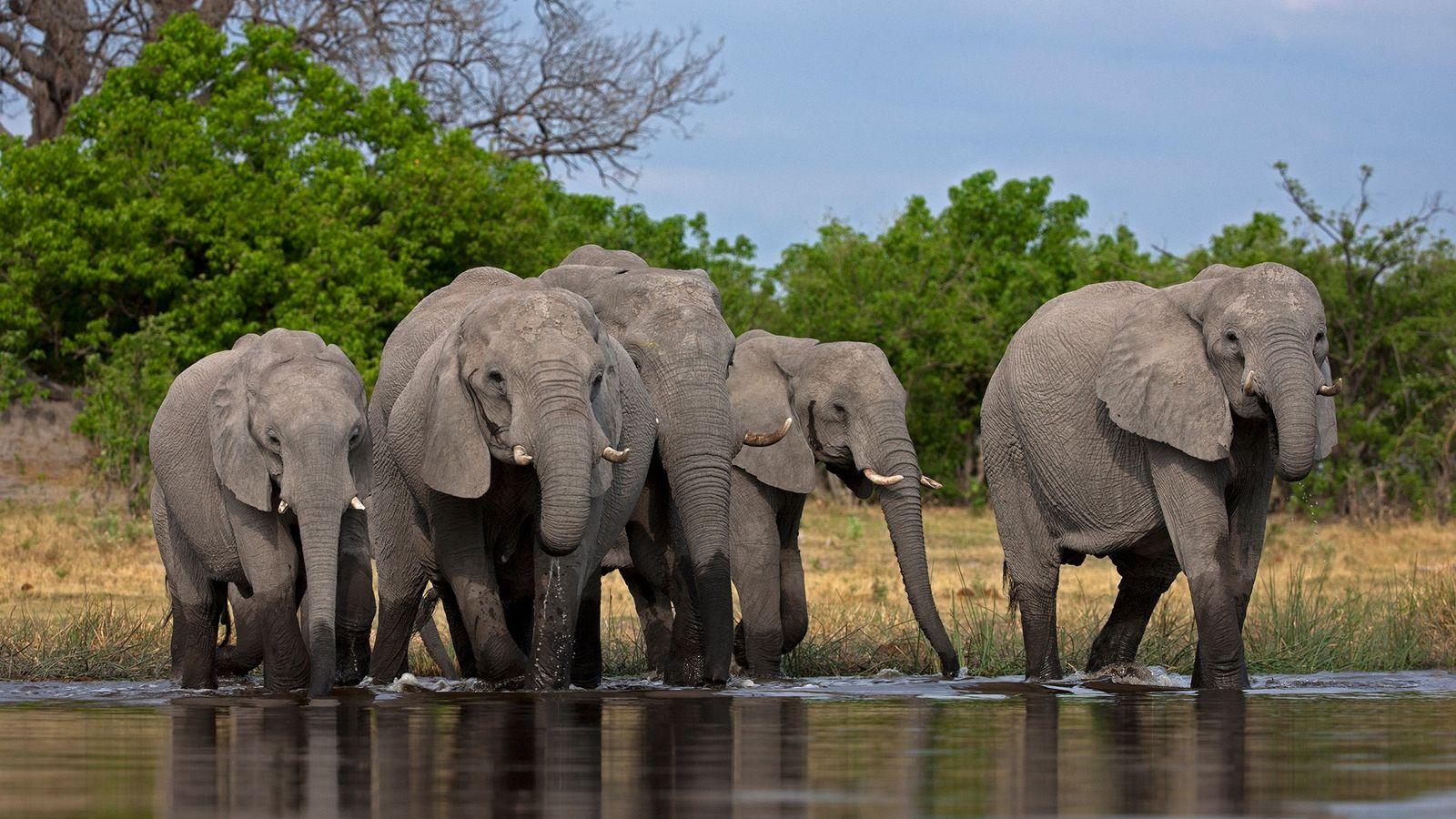 Longtemps considéré comme un modèle en matière de conservation des espèces sauvages, le Botswana abrite environ ...