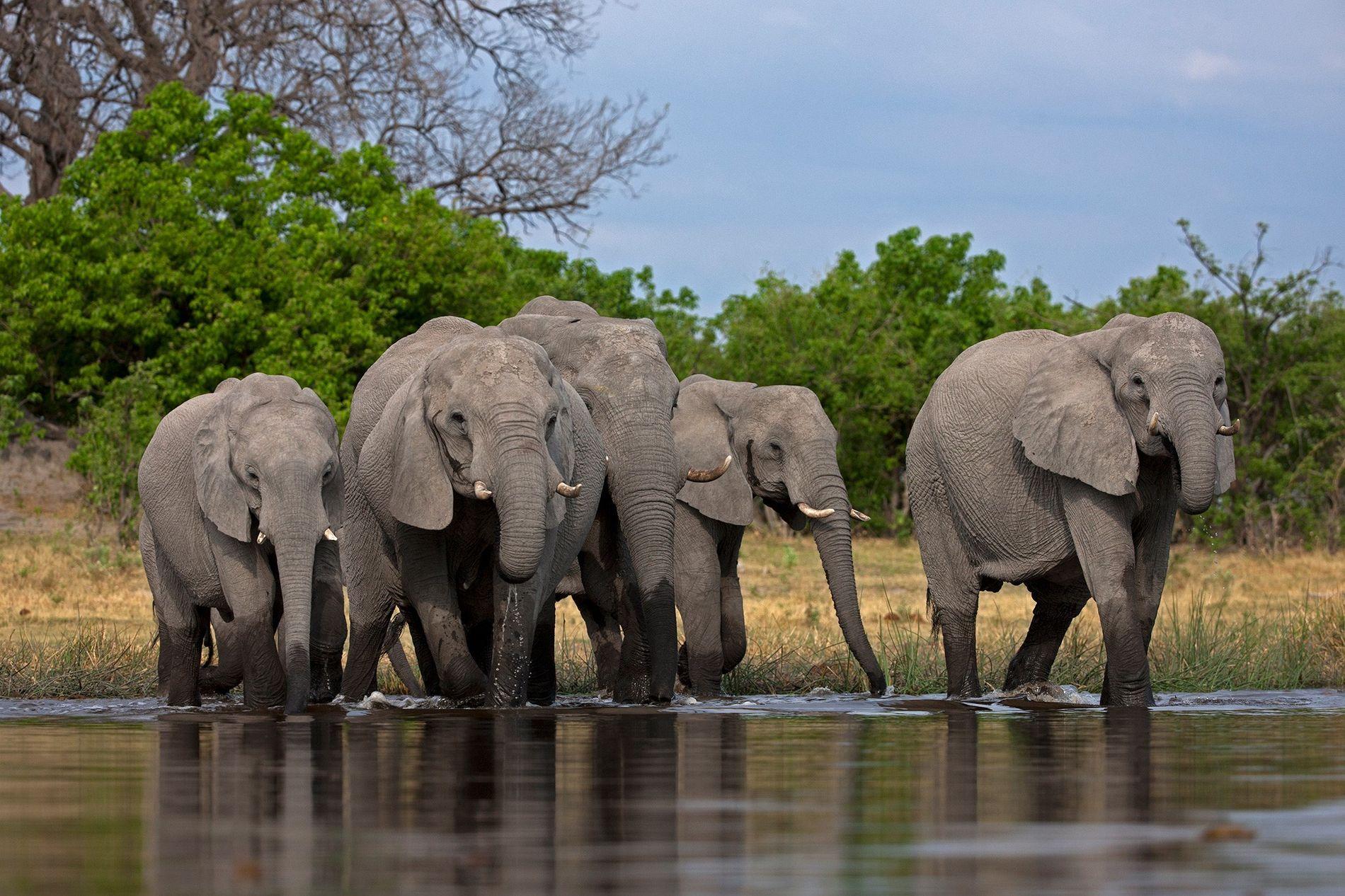 Longtemps considéré comme un modèle en matière de conservation des espèces sauvages, le Botswana abrite environ un tiers de la population d'éléphants de savane d'Afrique.