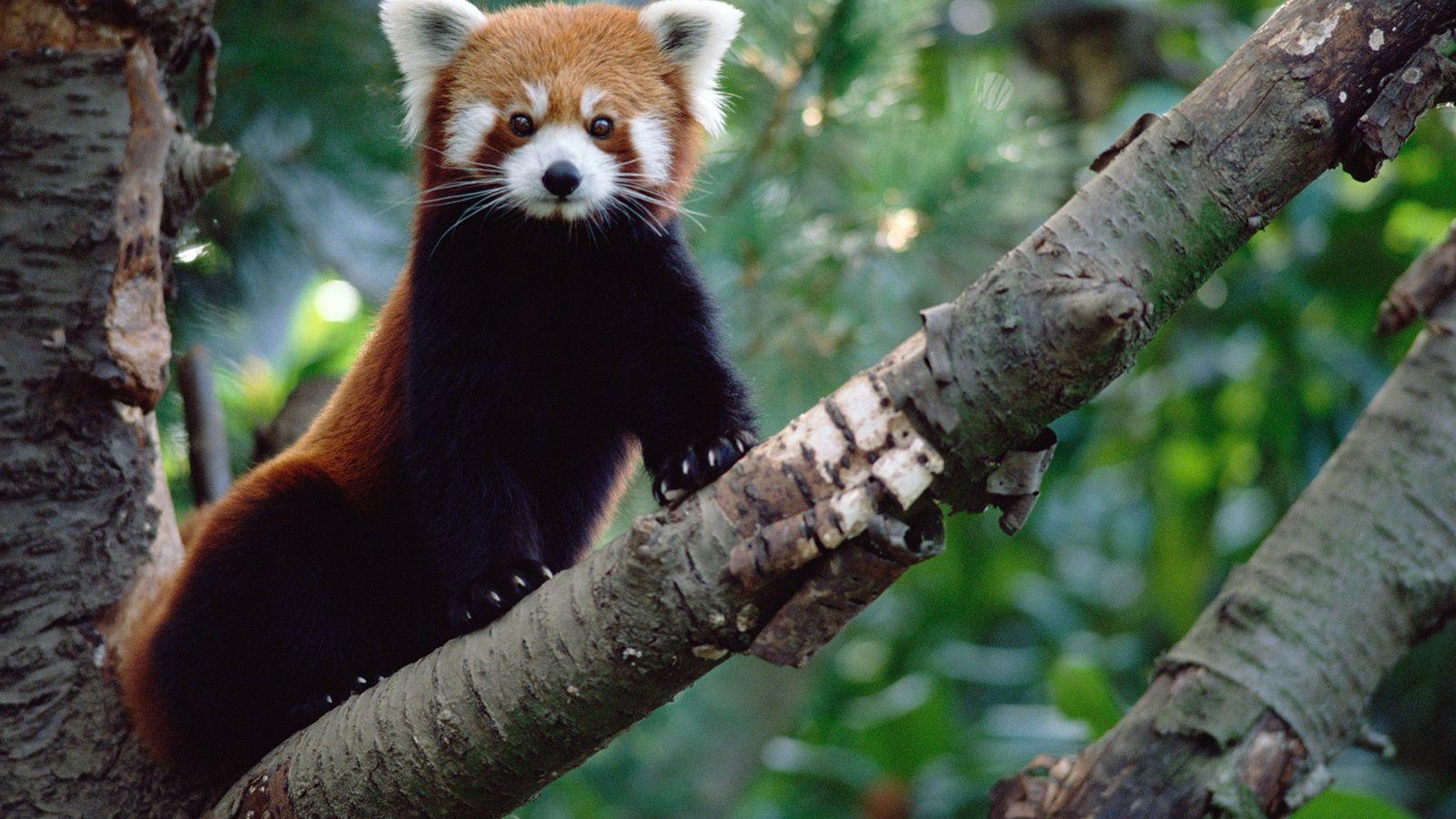 Bien qu'ils soient adorables, les pandas roux (Ailurus fulgens) sont dotés de griffes acérées et peuvent ...