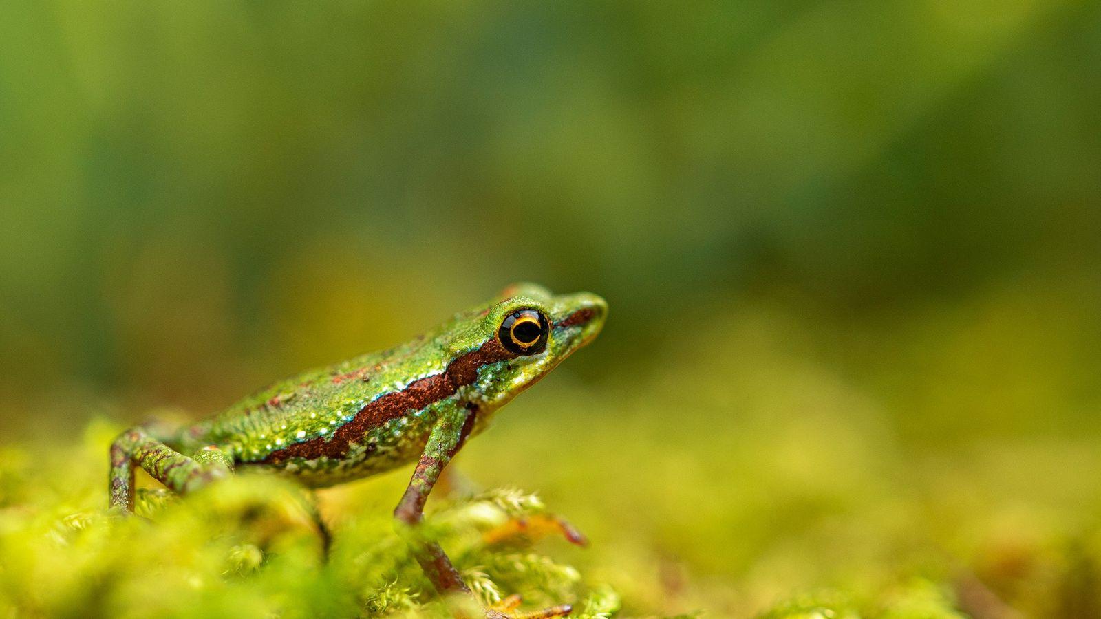 L'Atelopus mindoensis fait partie des 25 espèces d'amphibiens du genre Atelopus, un des plus touchés par ...