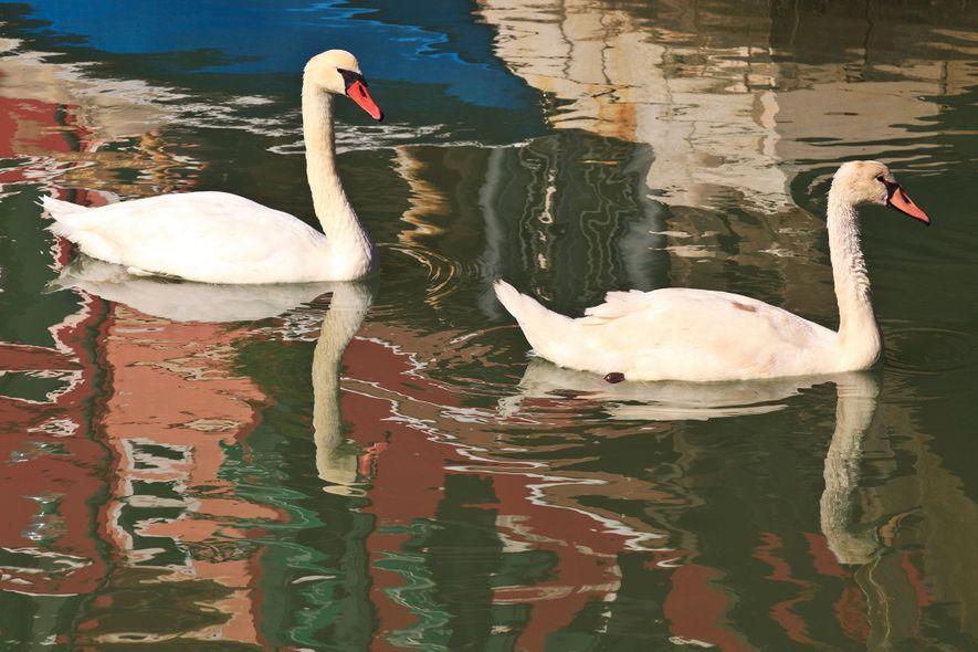 Les cygnes sont des visiteurs réguliers des canaux de Burano.