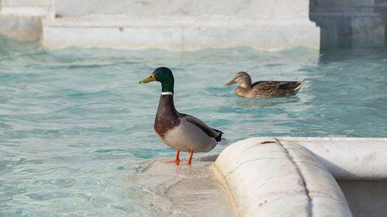 Des Anas platyrhynchos nagent dans la Fontana dell'Acqua Paola à Rome le 29 mars. Sur les ...