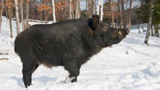 D'énormes cochons sauvages construisent des « pigloos » au Canada