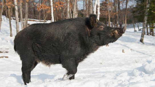 On assiste à une prolifération de cochons sauvages au Canada. Sur la photo, un gros sanglier se ...
