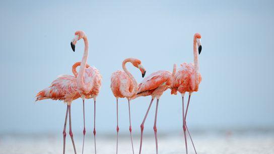 Des flamants des Caraïbes paressent à la lumière du soir. Ces oiseaux peuvent vivre jusqu'à 50 ans.