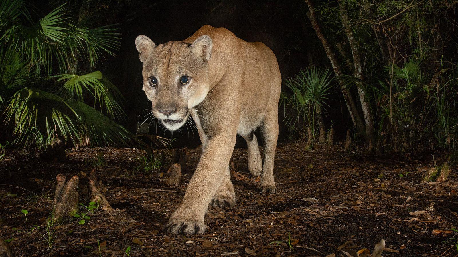 Panthère de Floride mâle - Babcock Ranch State Preserve. Les mâles ont des domaines vitaux s'étendant  jusqu'à ...