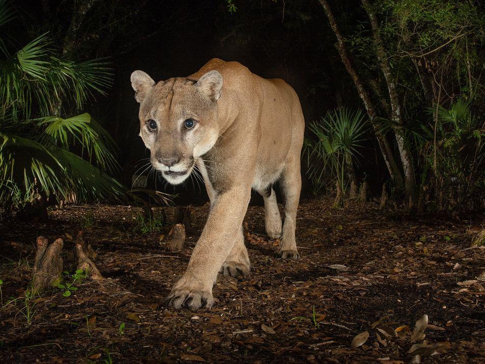 Deux panthères de Floride ont été filmées en plein combat pour la première fois