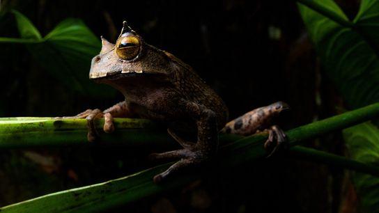 La grenouille marsupiale cornue (Gastrotheca cornuta) est un amphibien nocturne qui vit en hauteur, dans la ...