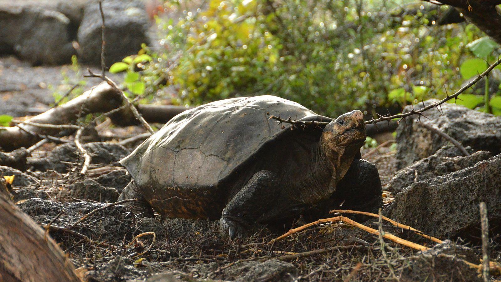 L'espèce de tortue géante de l'île de Fernandina, dans l'archipel des Galápagos, n'avait pas été observée ...