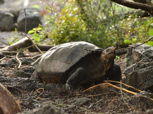 Une tortue géante réapparaît aux Galápagos 100 ans après sa disparition