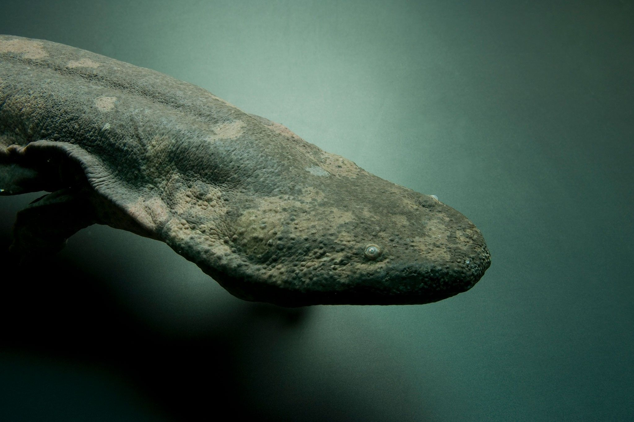 À peine découvert, le plus grand amphibien au monde est déjà menacé d'extinction | National Geographic