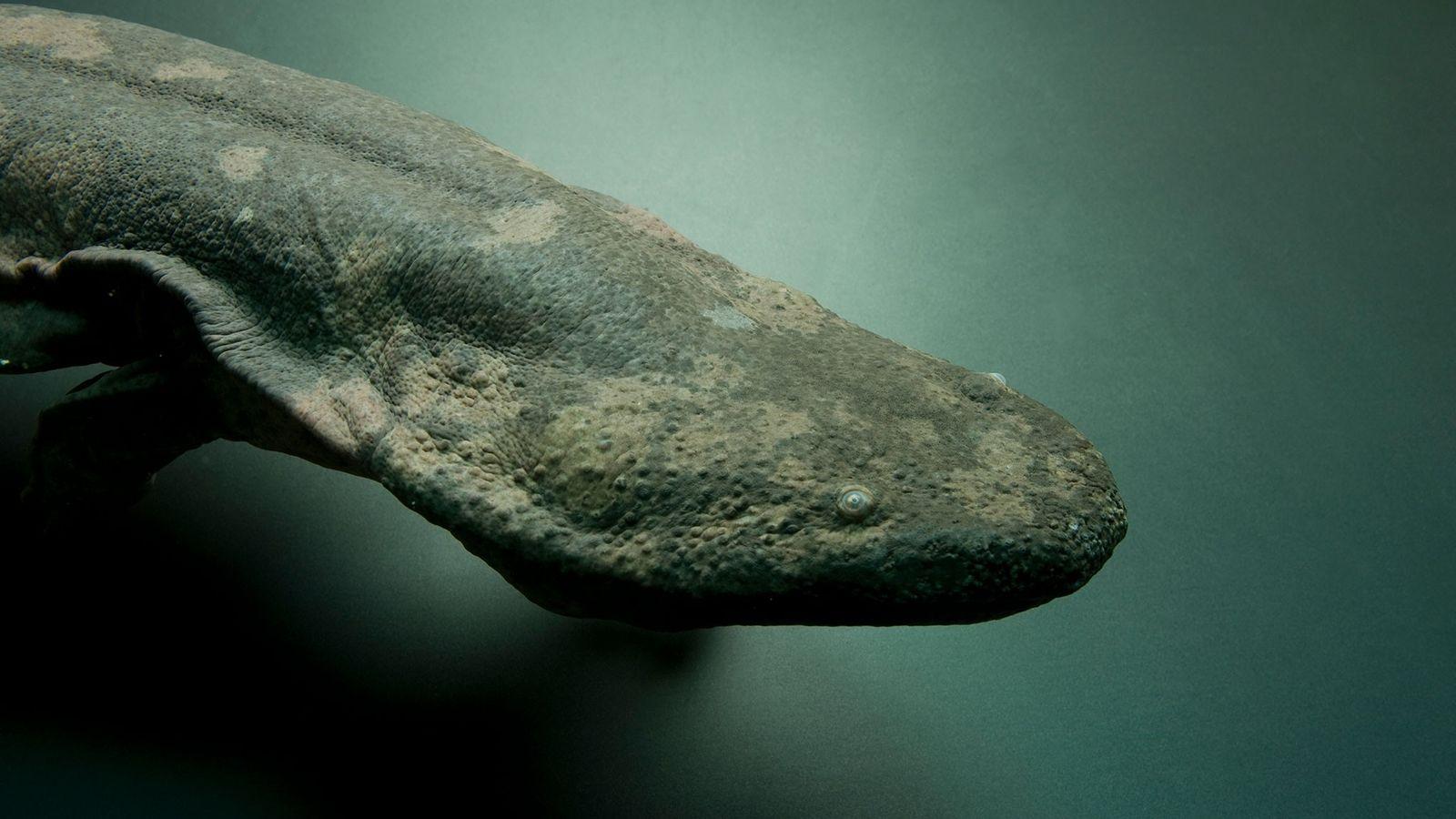 En danger critique d'extinction, cette salamandre géante de Chine, Andrias davidianus, a été photographiée au zoo ...