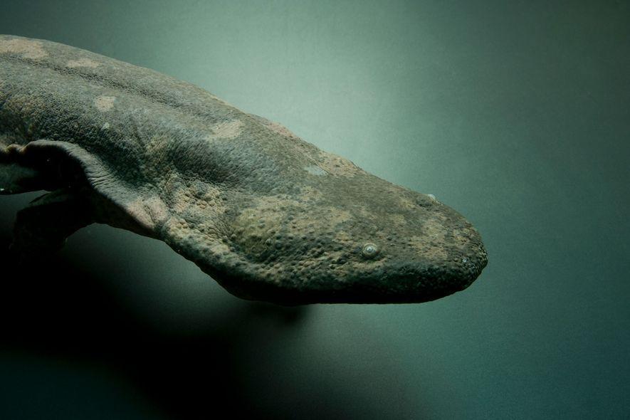 À peine découvert, le plus grand amphibien au monde est déjà menacé d'extinction