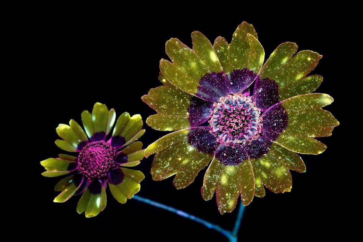 La fluorescence invisible des fleurs révélée en images