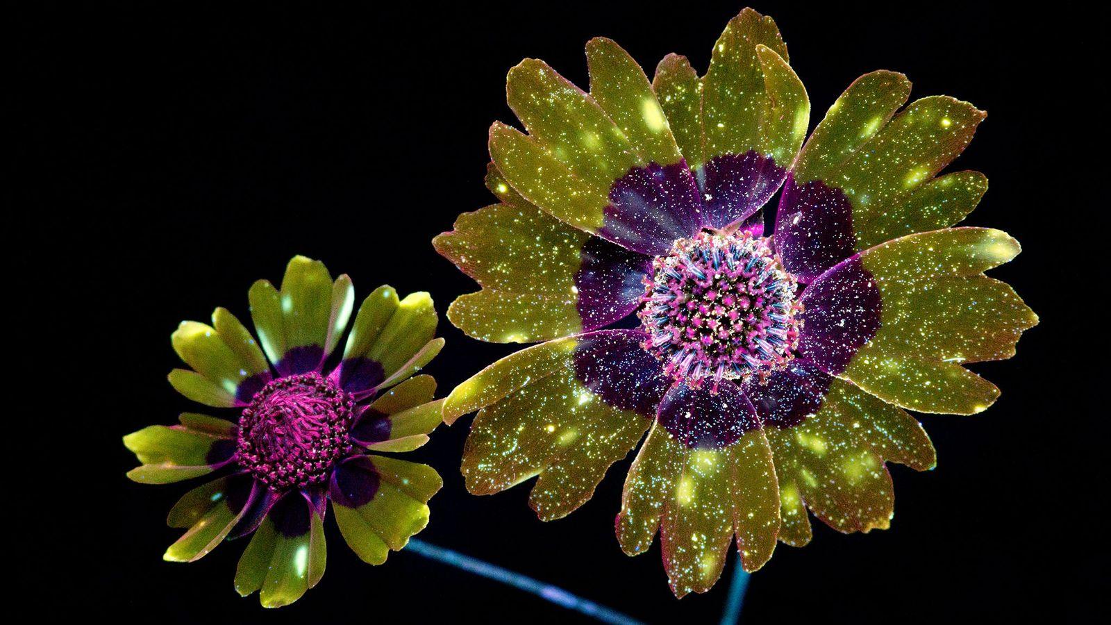 Coreopsis élégant