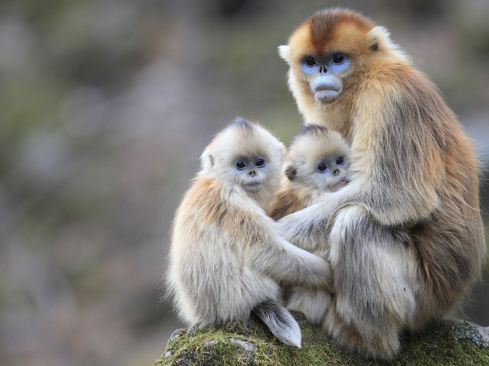 Pourquoi ces singes allaitent-ils des petits qui ne sont pas les leurs ?