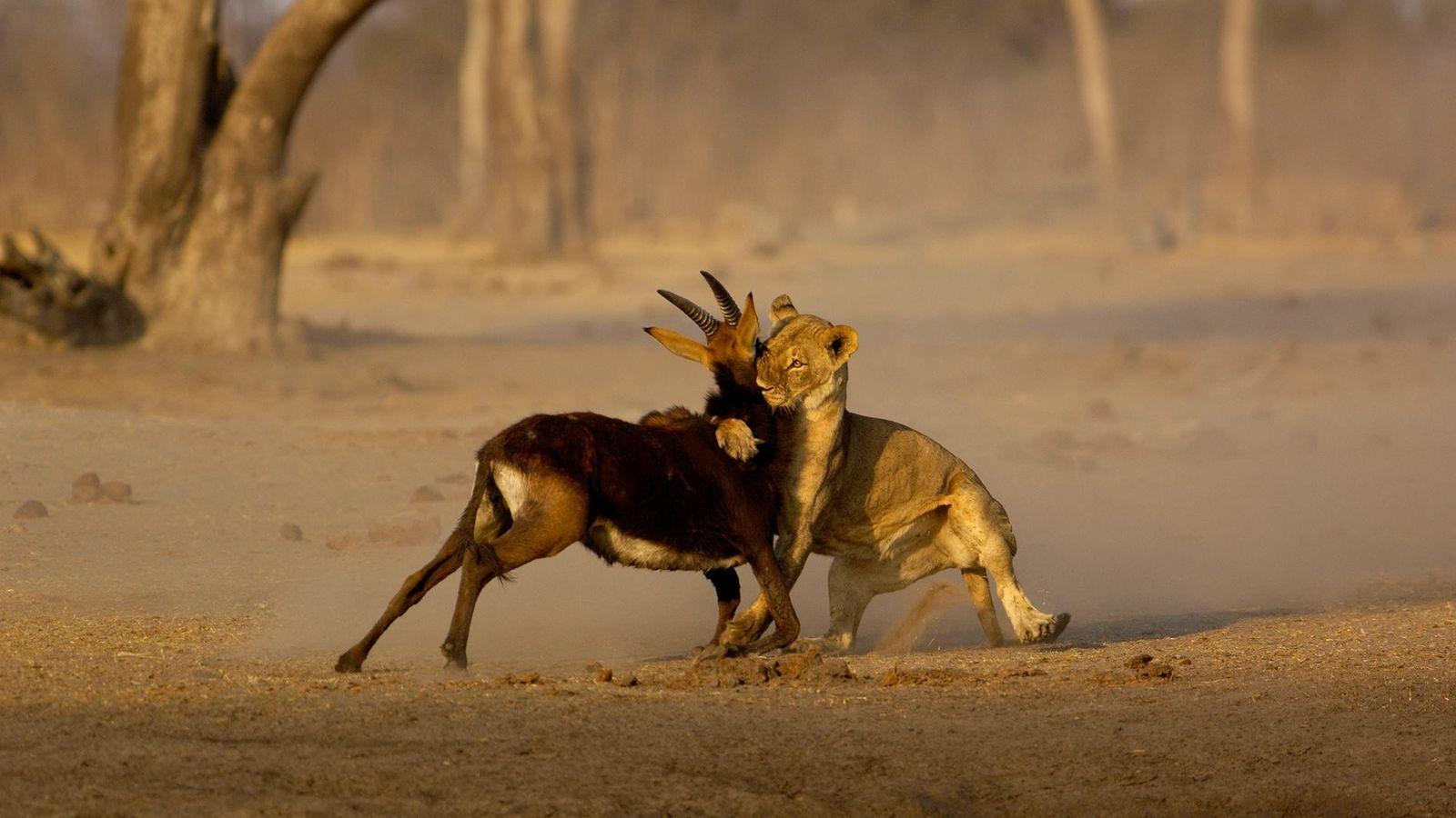 Une lionne attaque une gazelle dans le parc national Hwange du Zimbabwe. Les populations de lion ...