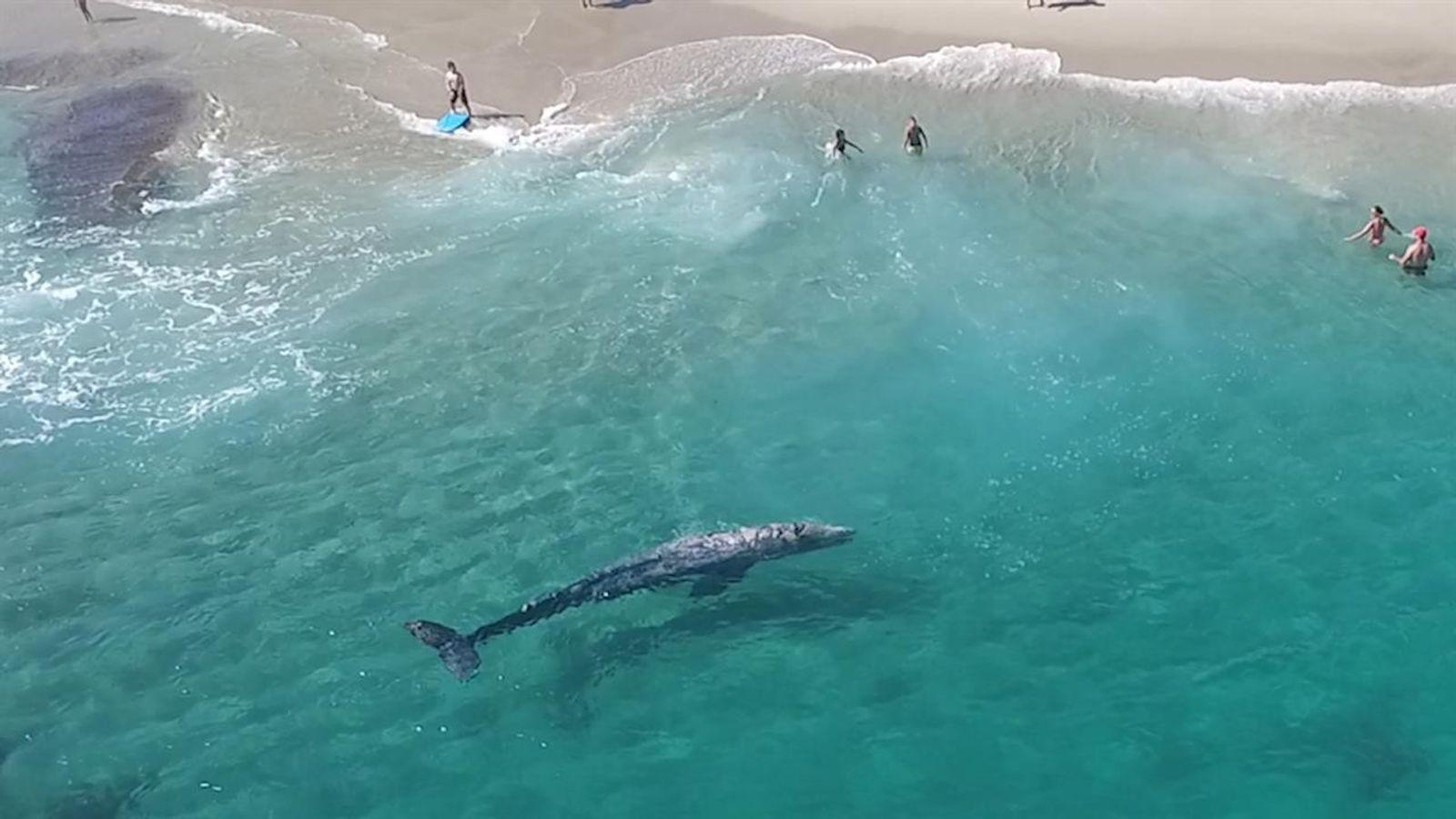 Vidéo : une baleine grise au milieu d'un groupe de nageurs
