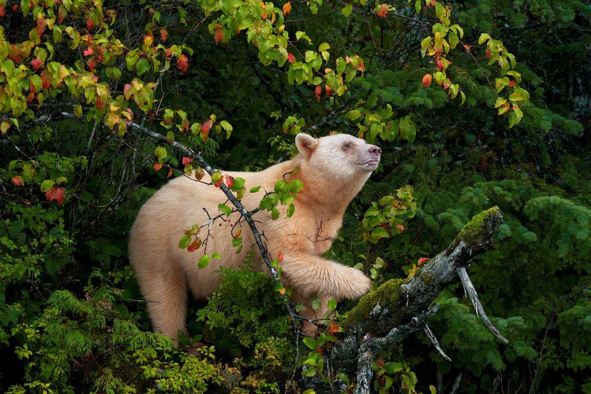 Dans la forêt pluviale de Great Bear, en Colombie-Britannique, un ours Kermode, connu également sous le ...