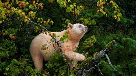 Au Canada, la lutte contre la chasse à l'ours Kermode s'organise