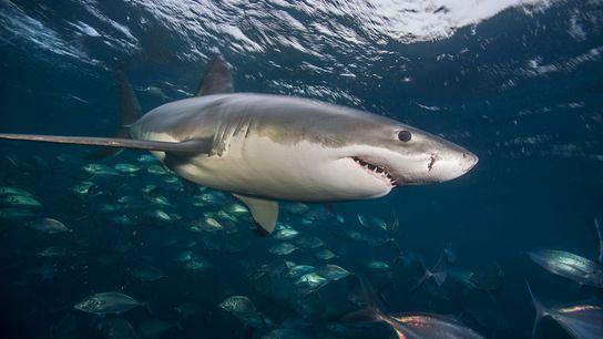 Un grand requin blanc nage dans les eaux au large des îles Neptune.