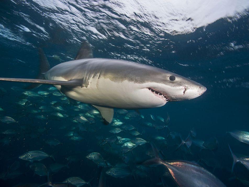 Pourquoi les grands requins blancs préfèrent-ils les courants chauds ?