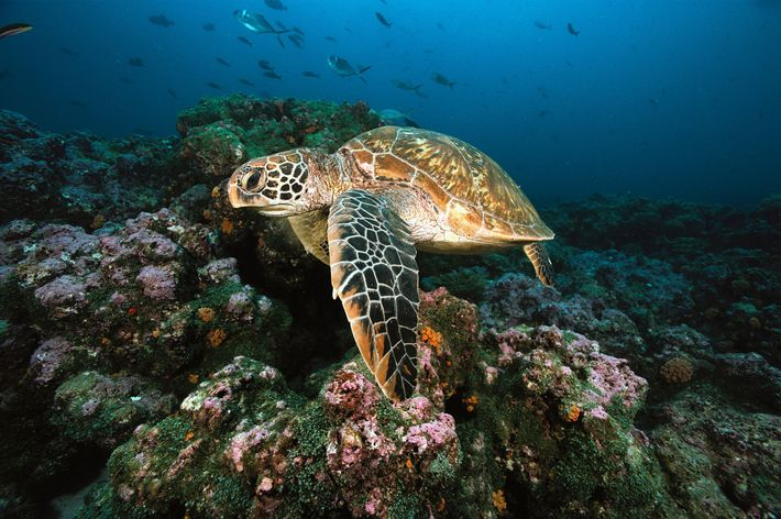 Davantage d'études doivent être menées afin d'évaluer l'ampleur du changement de sexe chez les tortues vertes ...