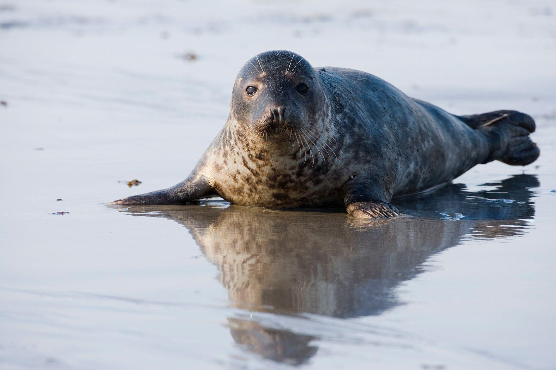 Un phoque gris (Halichoerus grypus) a récemment été aperçu en train d'attaquer puis de manger un ...
