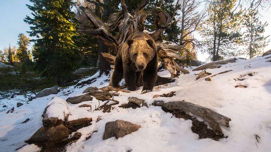 La fin de la protection des grizzlis à Yellowstone suscite la controverse