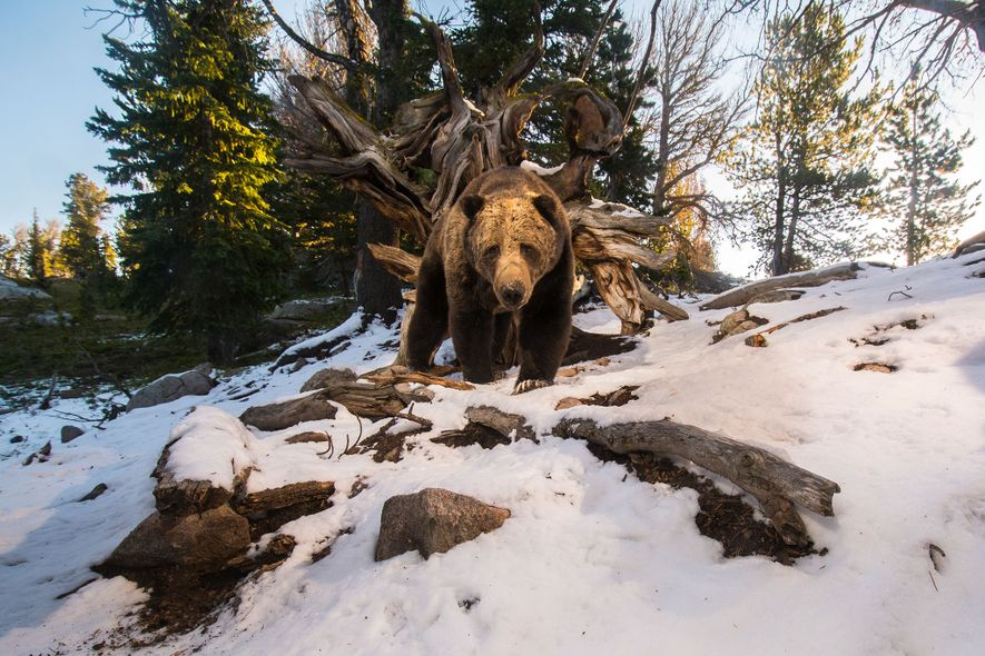 01-grizzly-bear-yellowstone