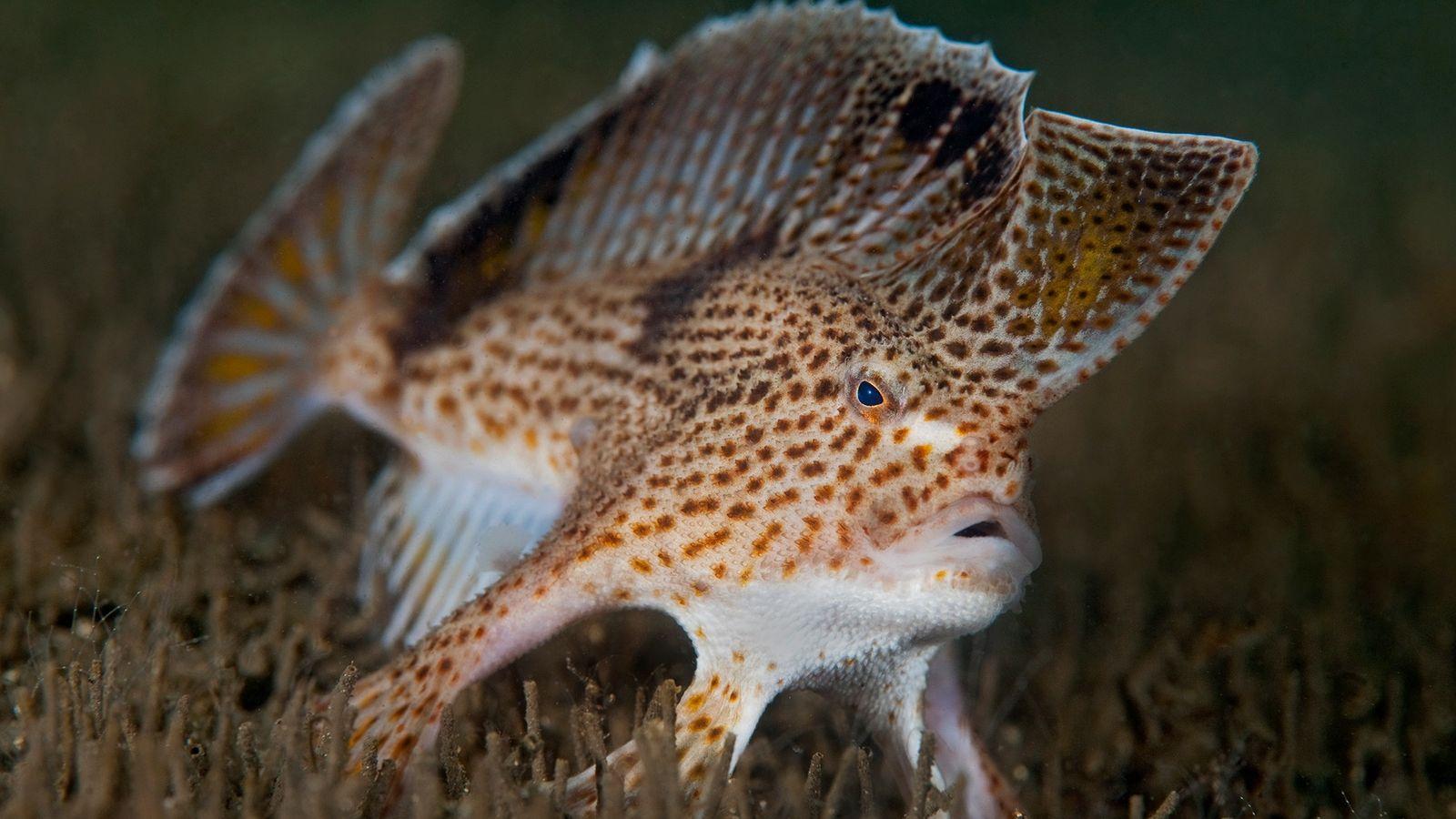 Les poissons-mains tachetés en danger critique d'extinction vivent dans l'estuaire de la rivière Derwent, près de ...