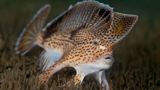 Cette espèce de poisson-main est officiellement éteinte