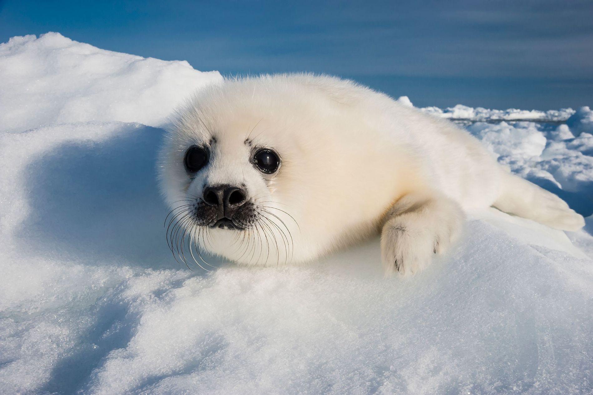 Un bébé phoque du Groenland se repose sur la banquise dans le golfe du Saint-Laurent.