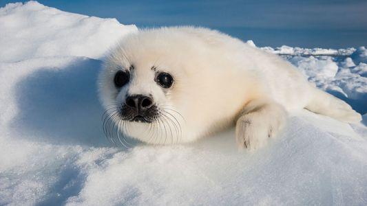 Écosse : un bébé phoque retrouvé mort étouffé par du plastique