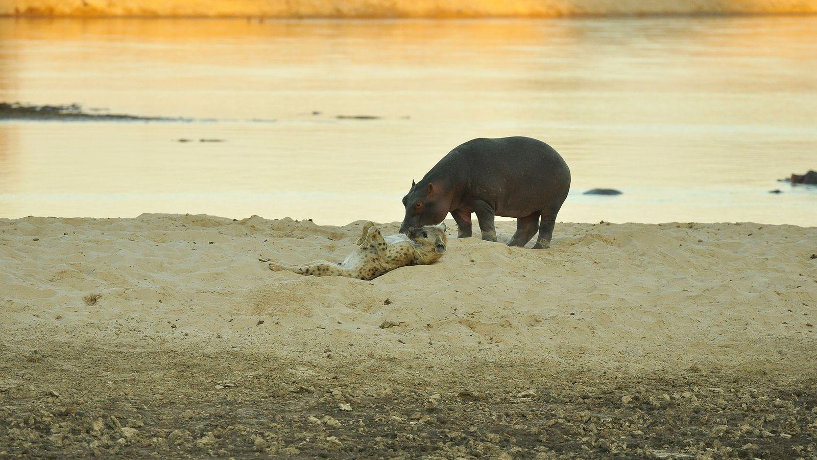 Une hyène tachetée fait des roulades à côté d'un hippopotame sur les berges de la rivière ...