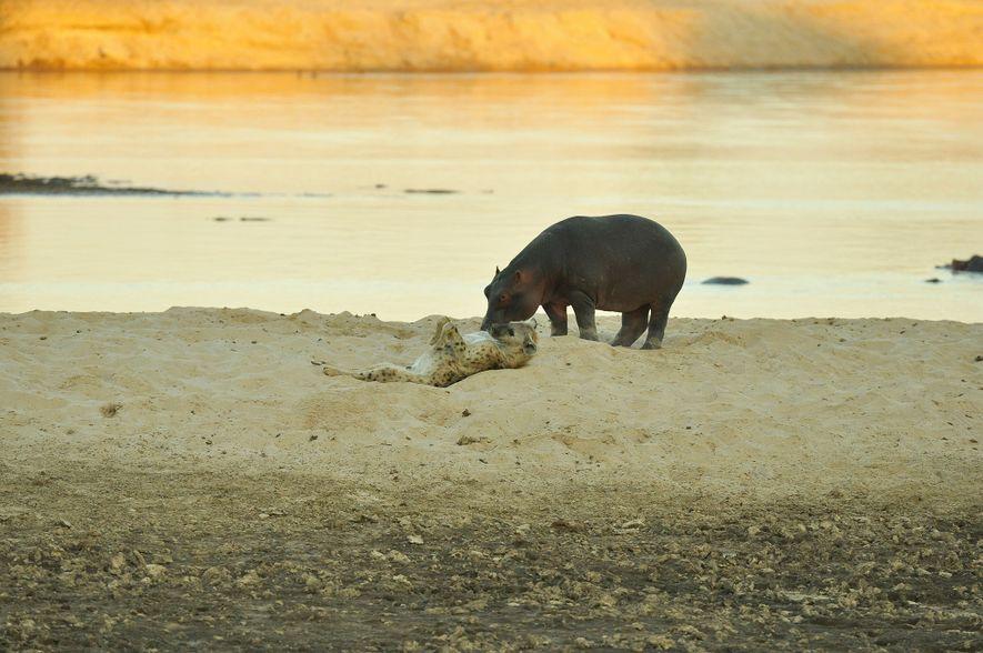 Une hyène et un hippopotame partagent un rare moment d'intimité
