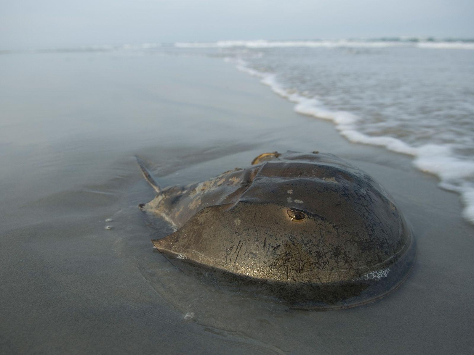 Un Limulus polyphemus sur la plage de Stone Harbor dans le New Jersey, à proximité de ...