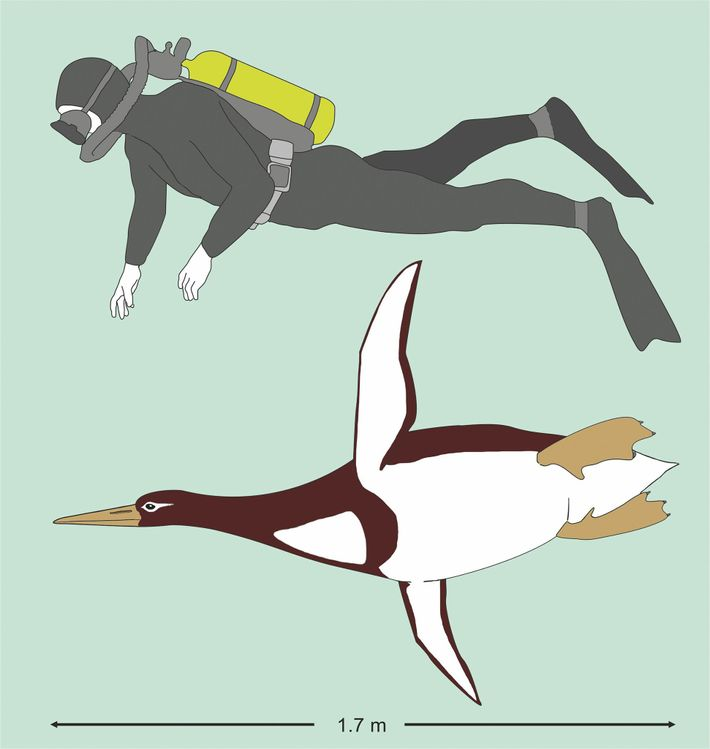 Reconstitution artistique de l'espèce de pmanchot Kumimanu comparé un plongeur.