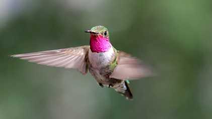 Les colibris perçoivent des couleurs que nous pouvons à peine imaginer