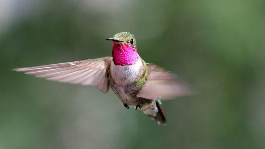 Un colibri à queue large mâle vole dans le Colorado dans le cadre d'une expérience sur ...