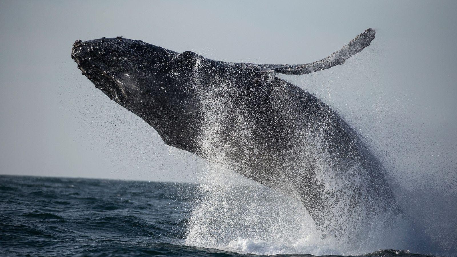 Depuis janvier 2016, les scientifiques ont constaté le décès de 88 baleines à bosse le long ...