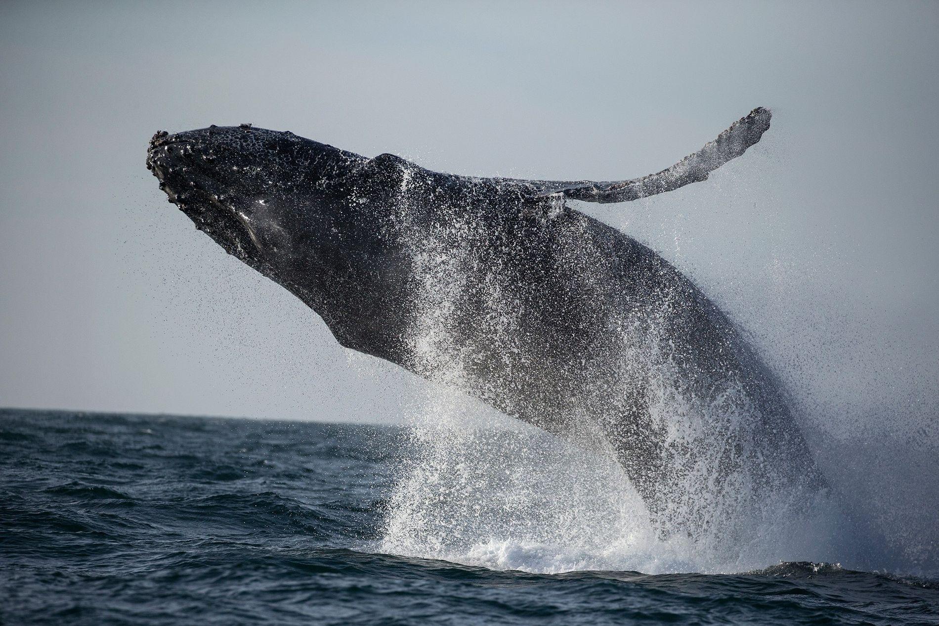 Depuis janvier 2016, les scientifiques ont constaté le décès de 88 baleines à bosse le long de la côte est des États-Unis, soit plus de deux fois le chiffre des trois années précédentes.