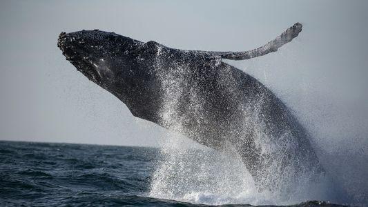 États-Unis : les baleines s'échouent sur la côte est à un rythme alarmant