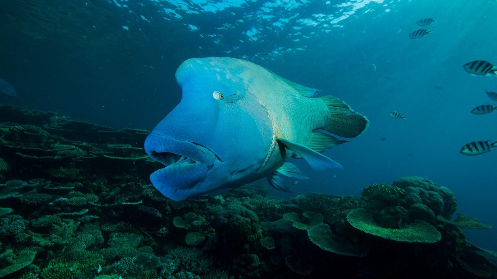 Pesant jusqu'à 180 kilogrammes et doté de marques distinctives derrière ses yeux, le napoléon est un ...