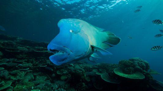 Le napoléon, roi des récifs, est menacé d'extinction
