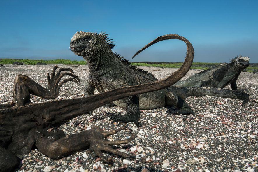 Sur l'île Fernandina dans l'archipel des Galápagos, deux iguanes marins font une pause près du corps ...