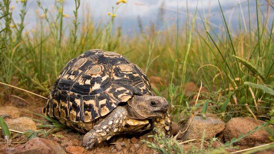 Des tortues léopards faisaient partie des près de 10 000 tortues vivantes saisies lors de l'Opération ...