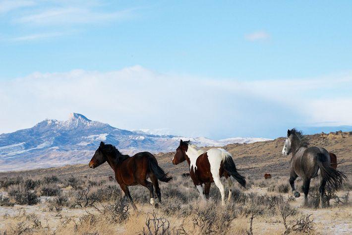 Les chevaux sauvages sont une question controversée dans l'ouest américain. Ci-dessus, des chevaux sauvages dans la ...