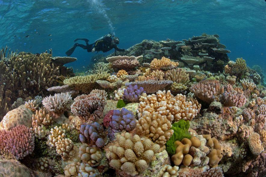 Au large de l'Australie, un plongeur explore les coraux de la Grande barrière de corail, plus …