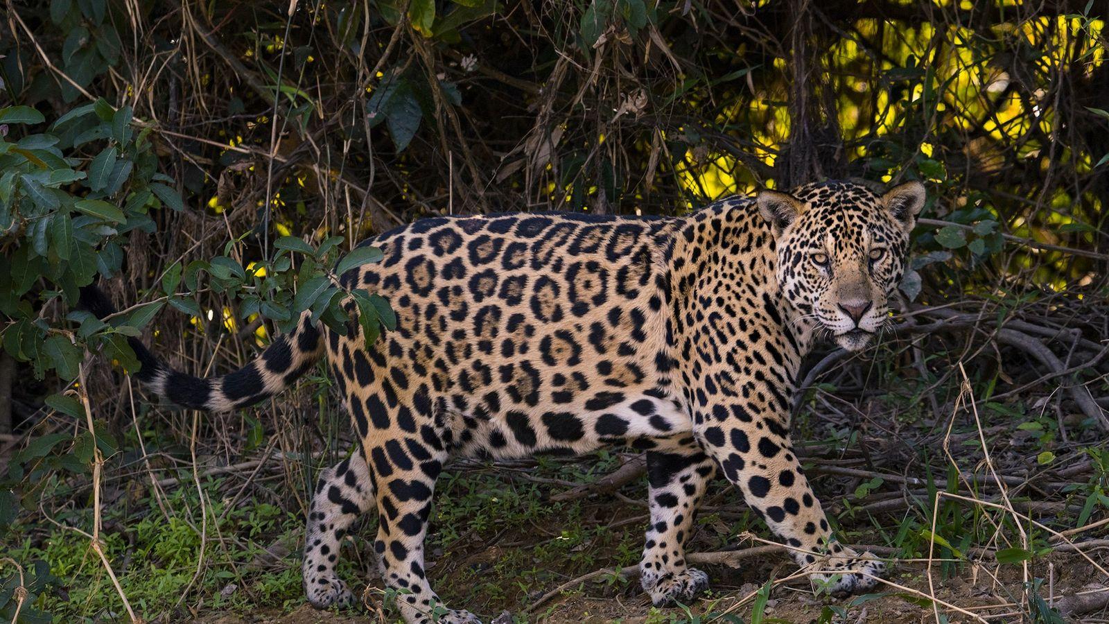 Ce jaguar rôde sur une berge de la région du Pantanal, au Brésil, dans l'état du ...